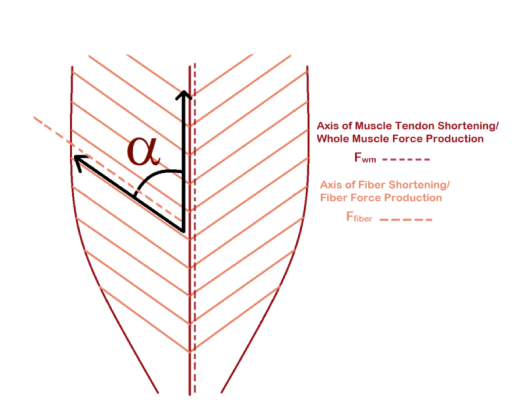 800px-Pennation_angle_of_fibers_in_pennate_muscle.png